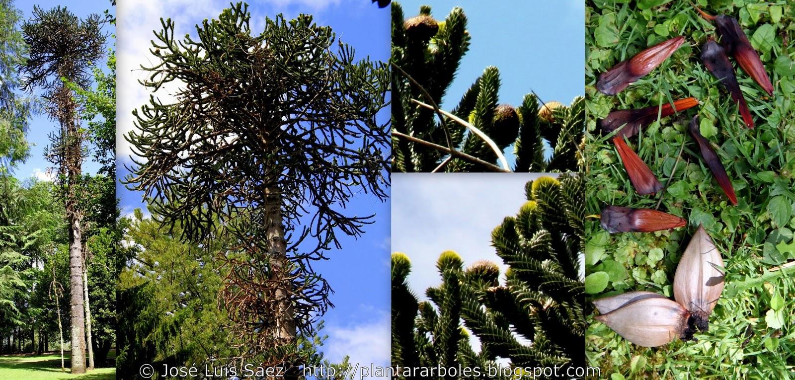 Plantar rboles y arbustos i rboles no aut ctonos de for Capillas de velacion jardin de los pinos