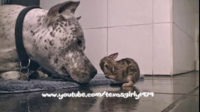 Un pitbull fait la toilette d'un bébé lapin trop mignon !