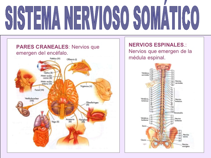 Sistema Nervioso ( Periférico, Somático, Autónomo) ~ Neurociencia y ...