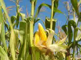 budidaya jagung secara organik nasa