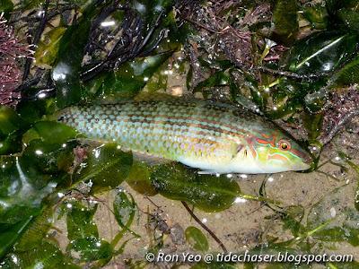 Diamond Tuskfish (Halichoeres dussumieri)