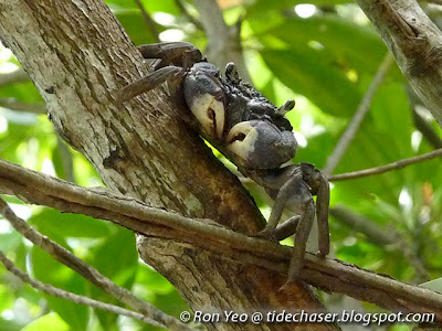 Tree-climbing Crab (Episesarma sp.)