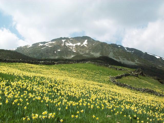 Flora del valle de laciana narcissus pseudonarcissus sbsp nobilis - Inmobiliaria blanco las rozas ...
