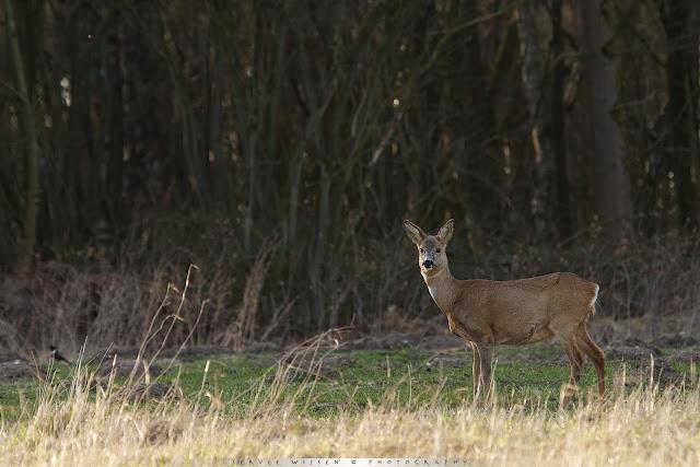 Ree - Roe Deer - Capreolus capreolus + Beflijster - Ring Ouzel -Turdus torquatis