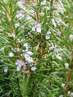 Close up of purple flowers on our rosemary bush