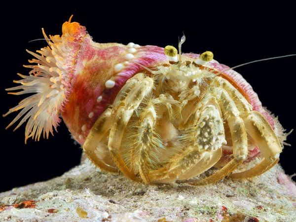 sea anemone and hermit crab relationship help