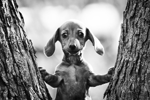 how to stop a dachshund puppy from barking