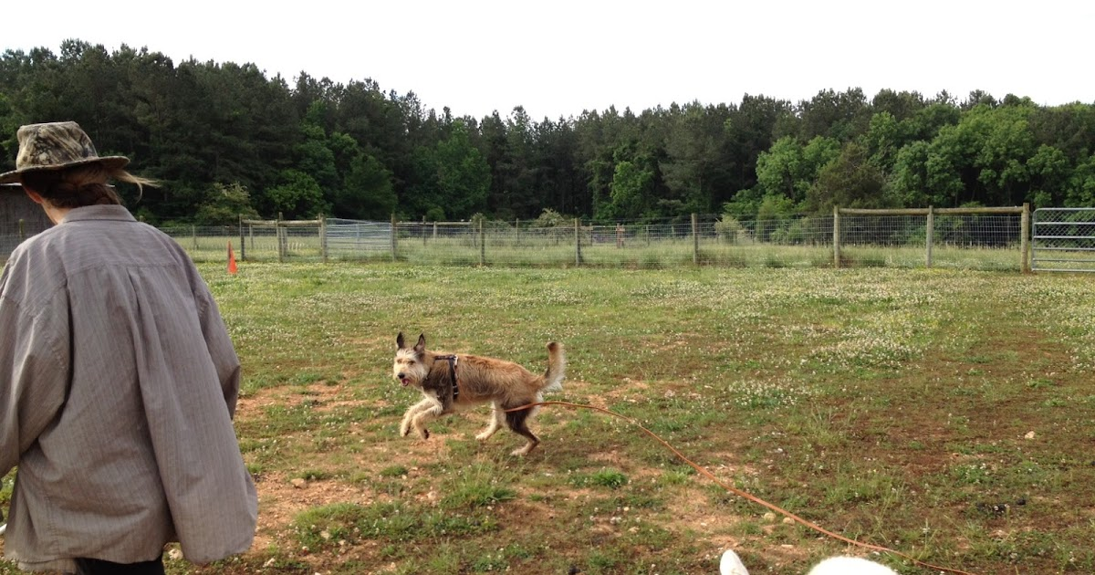 NC Dog Training for Herding and Obedience - Golem Kennels ...