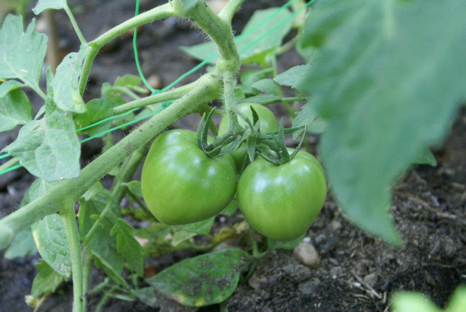 horta jardim e pomar:Coisas do jardim, do pomar e da horta: Iniciando a minha horta