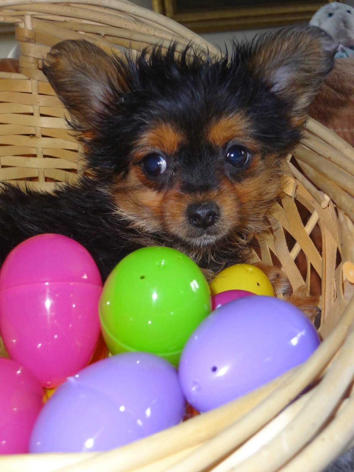 Chorkie female puppy