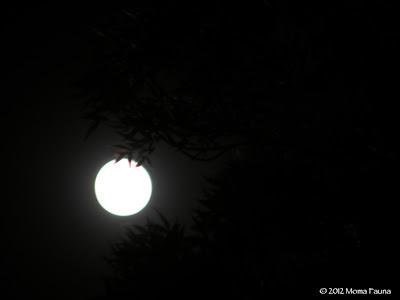 Migration Moon 2012, peeking thru the trees in Las Vegas.