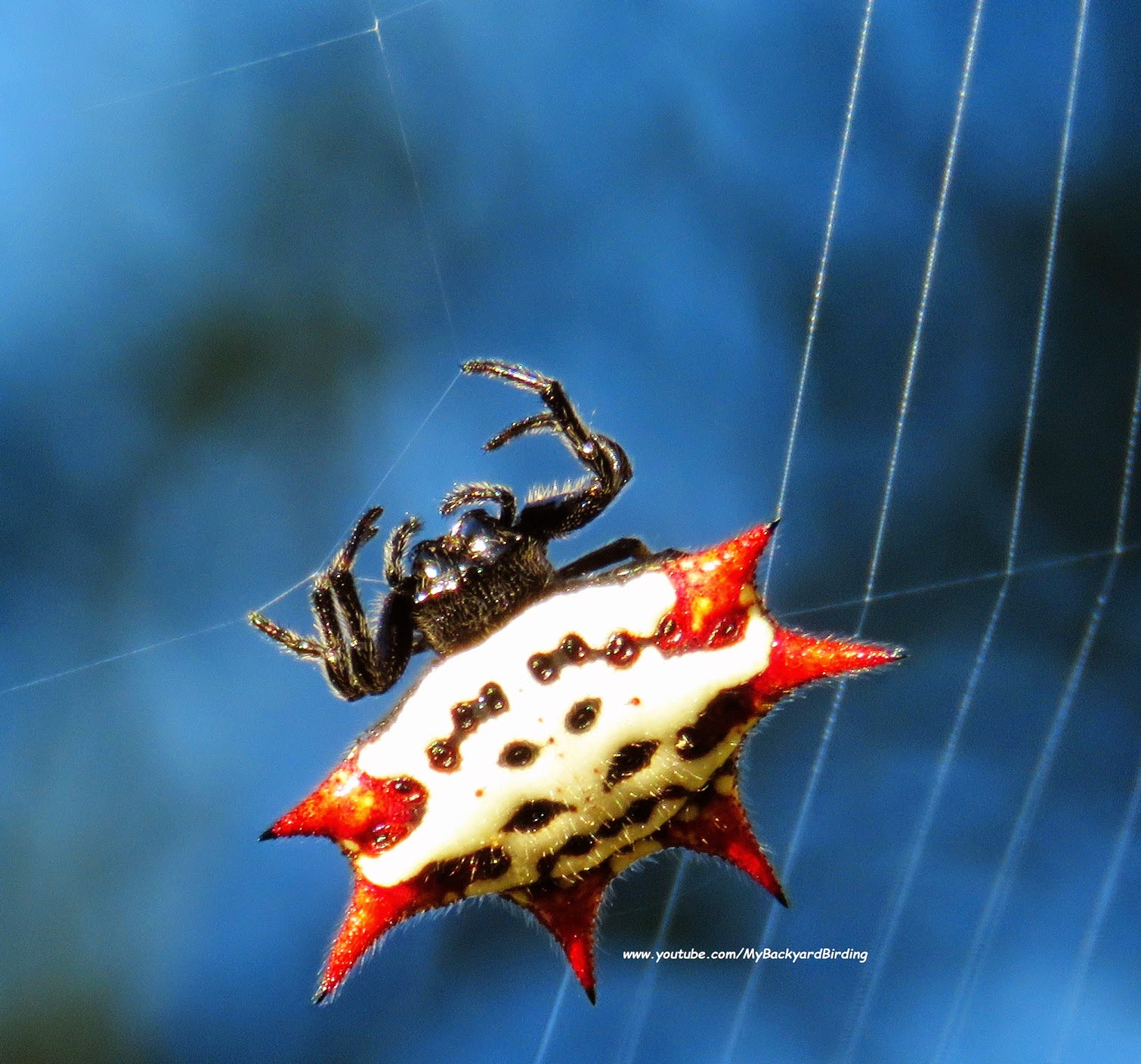 Spiny Backed Orb Weaver Spider Spinning a Web