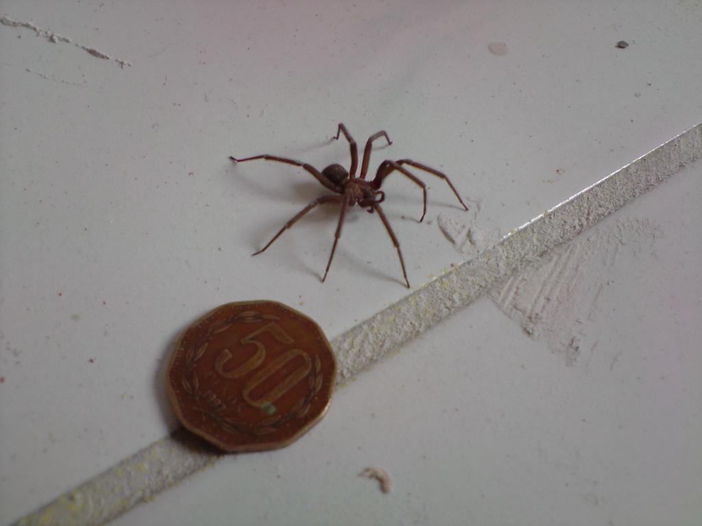 Parasitología: Arañas-Loxocelismo