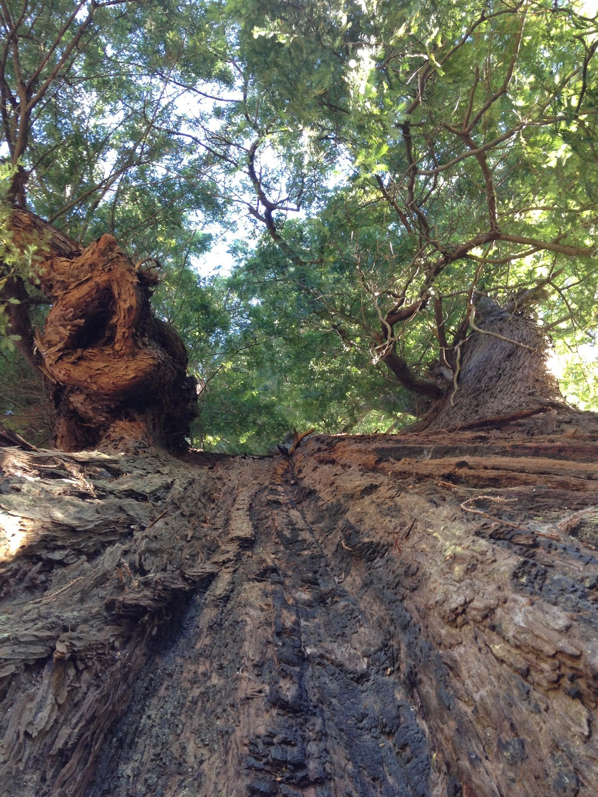 The Grandfather Tree, Piercy, California, Humboldt County by Rachel Medanic