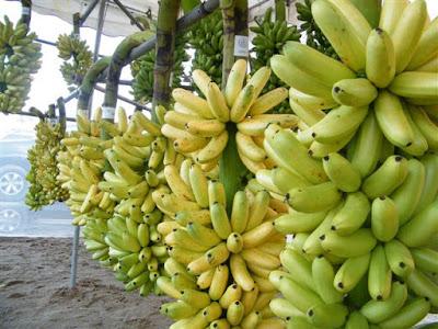 การปลูกกล้วยไข่นอกฤดู