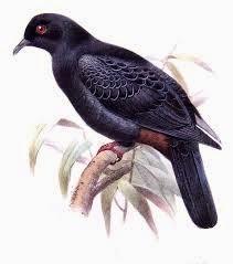 Bismarck imperial pigeon Ducula melanochroa