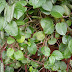 Health Benefits of Leaves binahong