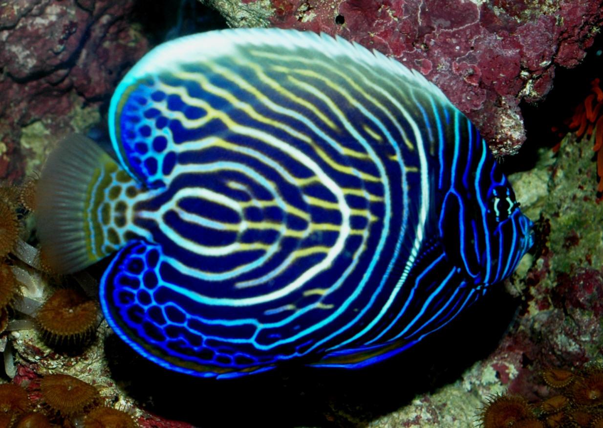Peces y plantas ornamentales pomacanthus imperator pez for Acuarios ornamentales
