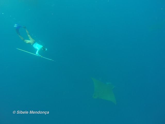diver, with spear sling, descending from above devil ray through turquoise waters