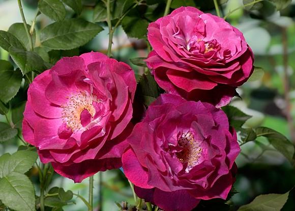 Wild Blue Yonder rose сорт розы фото