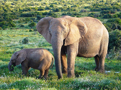 African-Elephant-With-Child-Thula-Thula