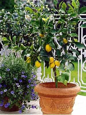 Estilo y hogar rboles frutales peque os para terrazas o for Arboles frutales en maceta