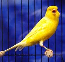 Foto Burung Kenari Frill Jantan