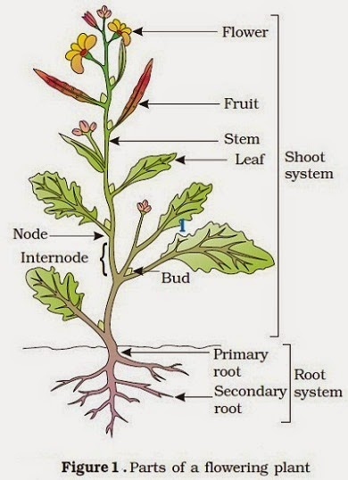 Plant Parts Diagram For Kids Crazywidowfo