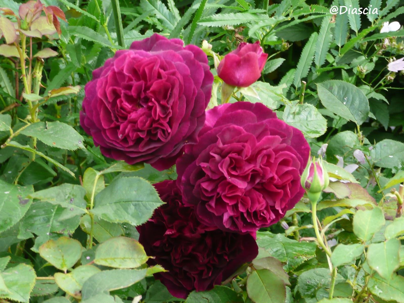 Le jardin de diascia munstead wood - Deplacer un rosier ...