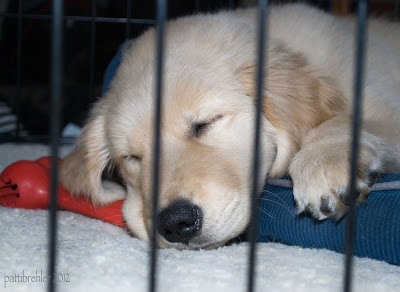 The golden retriever puppy is sleeping with his eyes closed in his crate. His head hands over a blue dog bed and rests on a red Kong toy. The bars of the crate are in front.