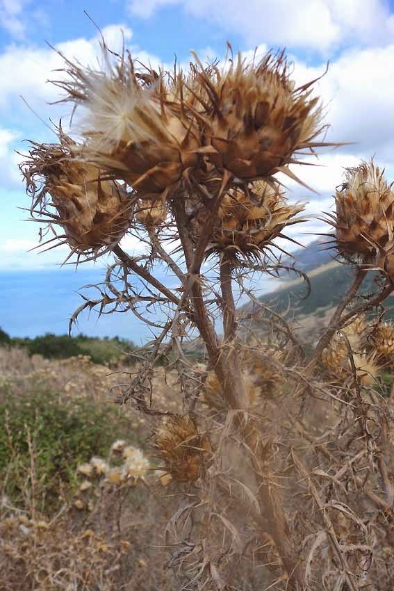 Chardons de Sardaigne piquant
