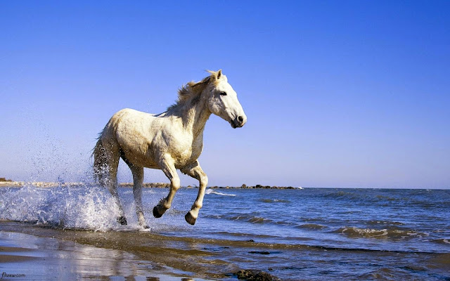123231-White Horse, Run, Beach, Animal HD Wallpaperz