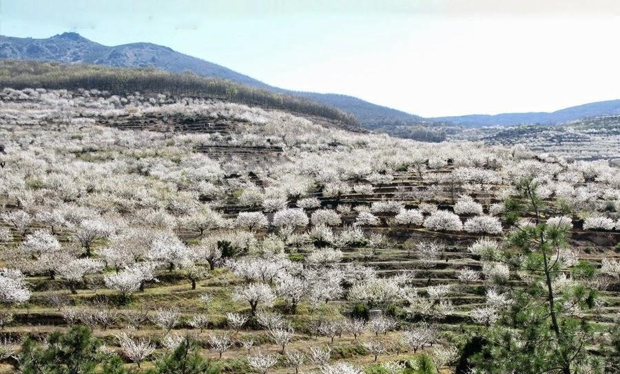 crecimiento de la flor de cerezo en vivo y en directo