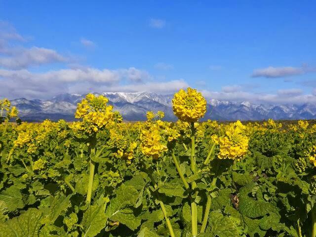 滋賀県守山市のなぎさ公園にある早咲きの菜の花畑。