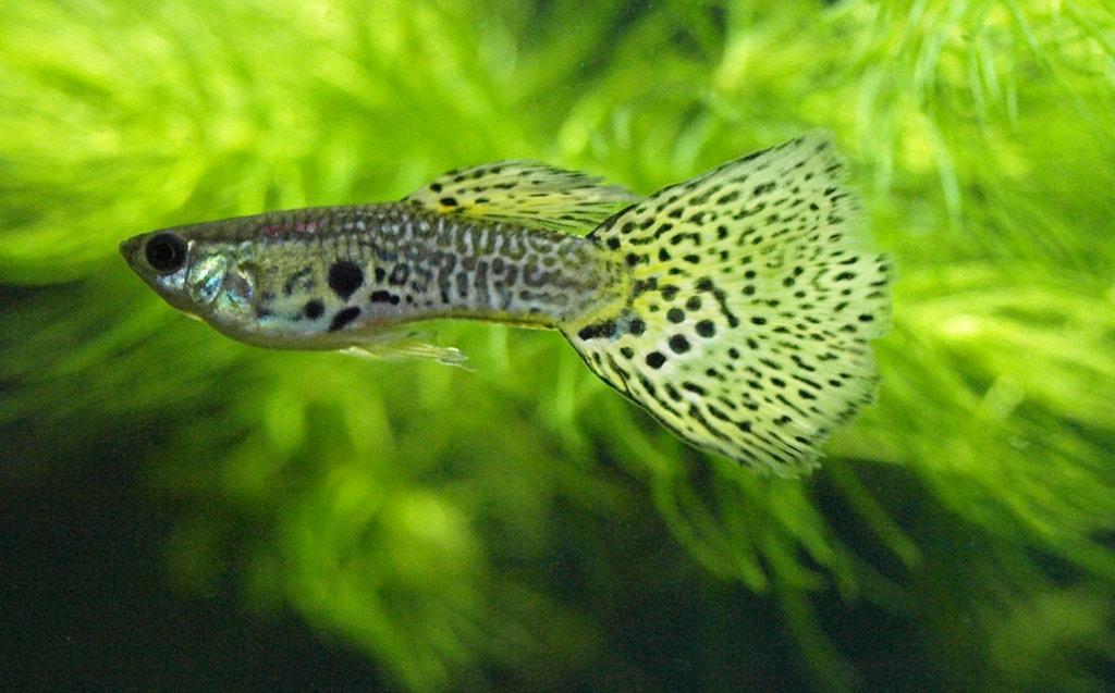 Guppy Fish: Naming guppy varieties