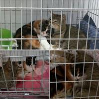 gatti adozione gatte gattine