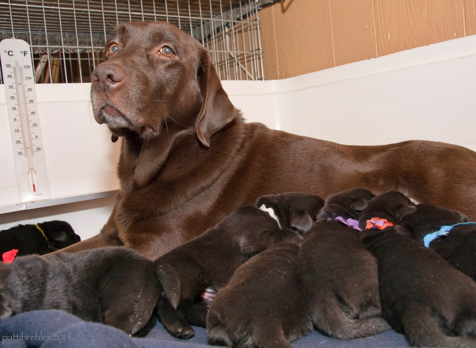 "A chocolate lab ""mom"" is lying down with five black puppies trying to nurse on her. Two other black puppies are nearby. The dog and pups are in a white whelping box, there is a thermometer on the left side. The chocolate lab is looking at the camera with a tired expression! All of the puppies have colorful ribbons tied around their necks for identification."