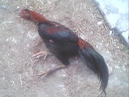 penyakit pada ayam bangkok dan pengobatannya rooster ayam bangkok