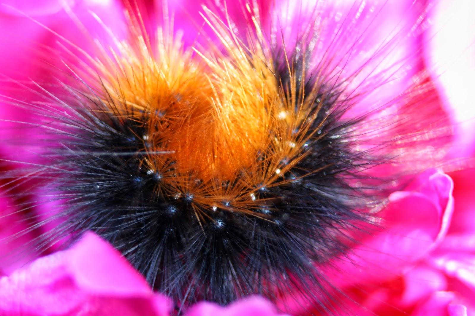 macro garden tiger moth caterpillar