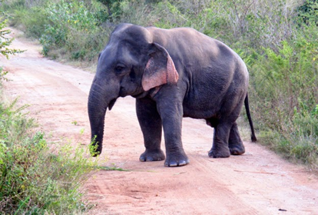 dwarf elephant