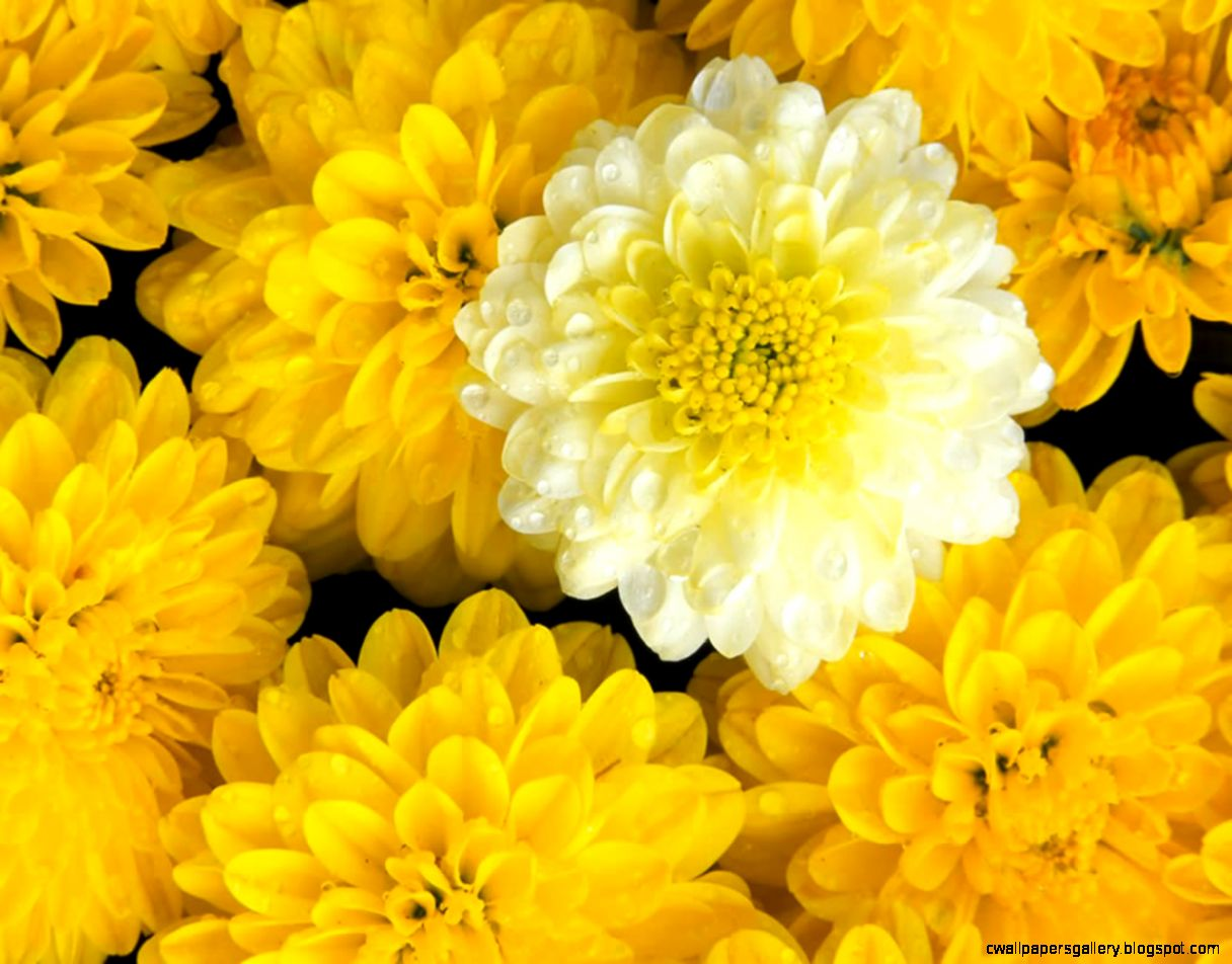 Flower Wallpaper  Beautiful Yellow Flowers