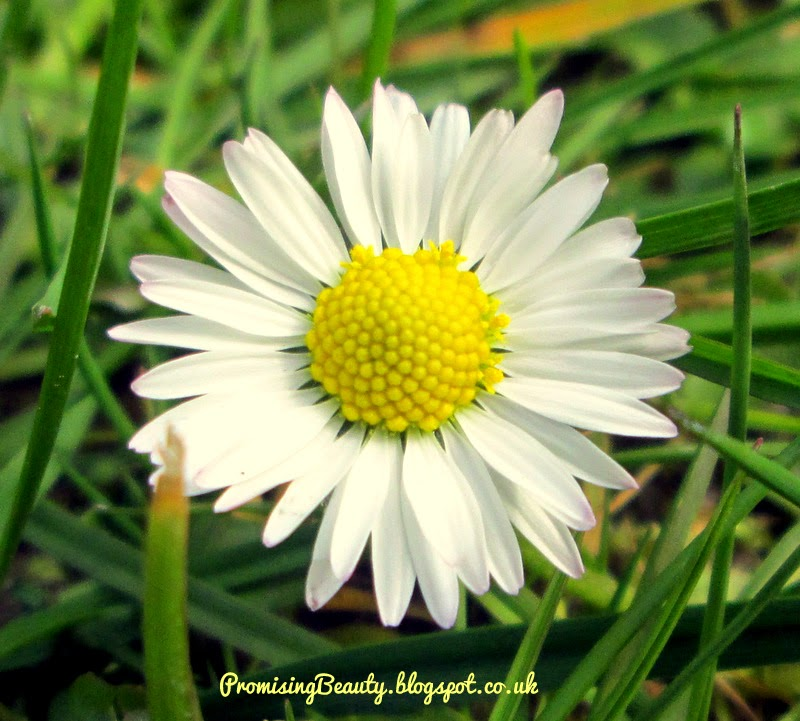 Spring flower, close up of small daisie. Gorgeous little white summertime flower.