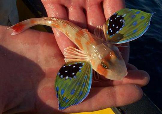 Ikan Gurnard