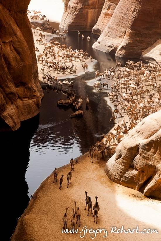kumpulan-unta-minum-air-di-gurun-sahara