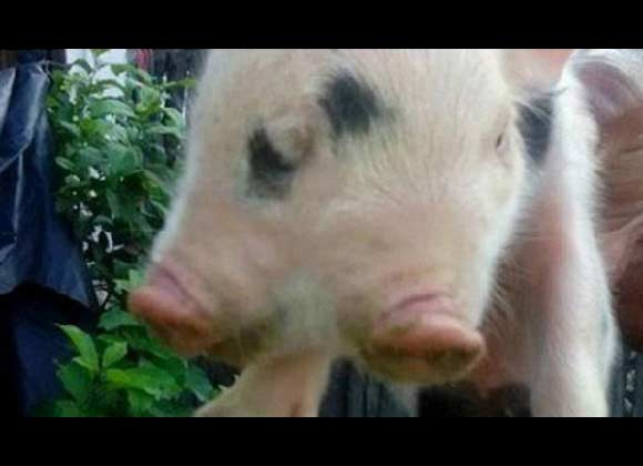 Cerdo de dos cabezas y tres ojos sorprende a Colombia