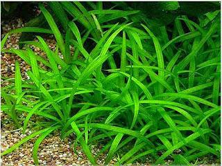 gambar-Sagitaria-Subulata-tanaman-aquascape-rosette
