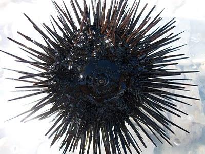 Морские ежи встречаются только на диких пляжах Hotel Istra Rovinj 4* на острове Св. Андрея | Sea urchins are typical only for wild beaches of Hotel Istra Rovinj 4* on Crveni otok