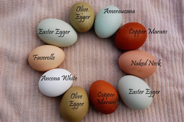 Coloring Pictures Of Animals That Lay Eggs : Maple grove: eggs of a different color