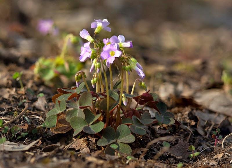 Ozark Wildflowers_Violet Wood Sorrel