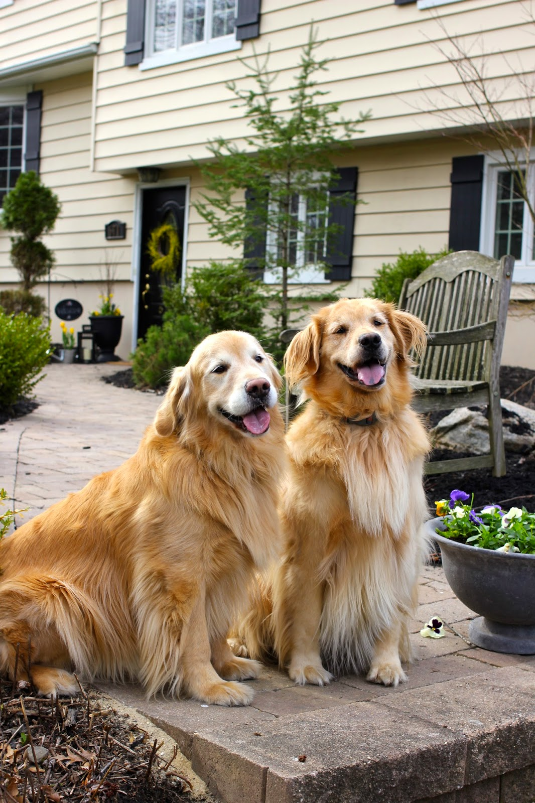 Golden retrievers in spring-www.goldenboysandme.com
